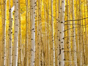 golden aspen forest photo