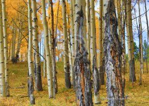 aspen tree photo