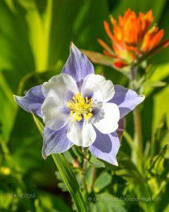 columbine wildflower photo